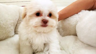 Malshi Puppy - Female - Maise ($1,299)