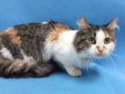 Adopt Piranha a White Domestic Mediumhair / Domestic Shorthair / Mixed cat in