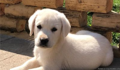Yellow Lab Puppies Currently Available From Starstruck Labradors