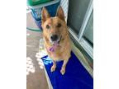 Adopt Woofie a German Shepherd Dog, Jindo