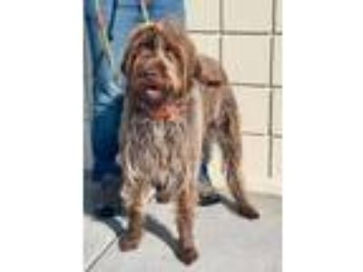 Adopt Griffin a Wirehaired Pointing Griffon