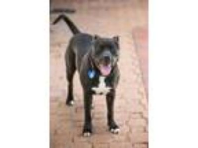 Adopt Jim a Black American Pit Bull Terrier / Mixed dog in Houston