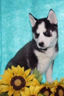 Jill Female ACA Siberian Husky