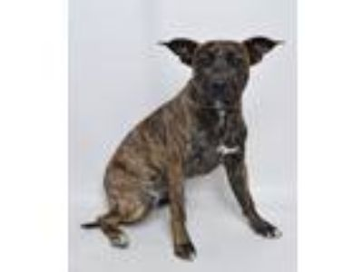 Adopt Boomer a Brindle Mixed Breed (Medium) / Mixed dog in Jefferson City
