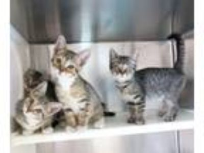 Adopt Willis, Arnold, Drummond and Kimberly a Domestic Short Hair, Tabby