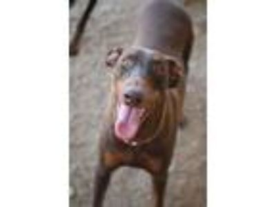 Adopt Piper a Brown/Chocolate - with Tan Doberman Pinscher / Mixed dog in