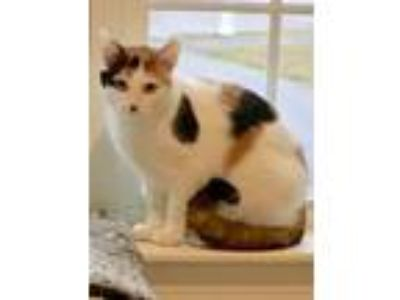 Adopt Joy 1 a Domestic Short Hair
