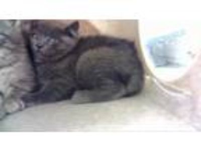 Adopt MOE a Gray or Blue Russian Blue / Mixed (short coat) cat in West Valley