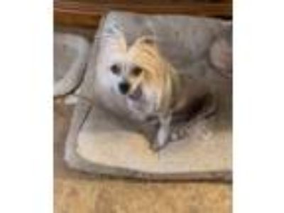 Adopt Sweetie a Chinese Crested Dog