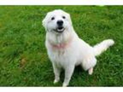 Adopt a White Great Pyrenees / Mixed dog in Louisville, KY (25588423)