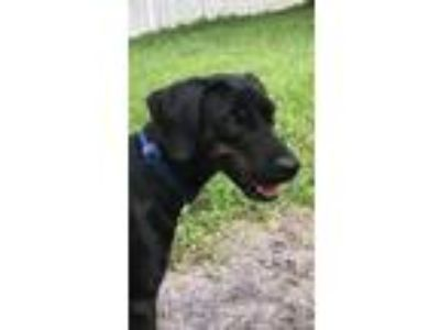Adopt GIPSY a Black - with Brown, Red, Golden, Orange or Chestnut Coonhound /