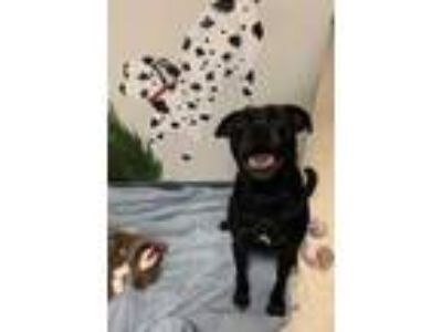 Adopt Charlie a Black Labrador Retriever / Pug / Mixed dog in Elmira