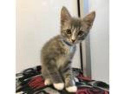 Adopt Eric a Gray or Blue Domestic Shorthair / Domestic Shorthair / Mixed cat in