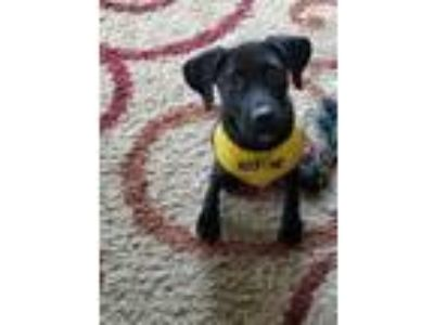 Adopt Sam a Black Labrador Retriever / Mixed dog in WESTMINSTER, MD (25208208)