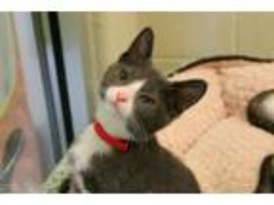 Adopt DEAN a Domestic Short Hair