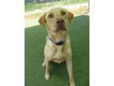 Adopt Finn #2 a Yellow Labrador Retriever