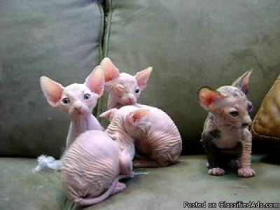 1x Active Male Canadian Sphynx Kittens