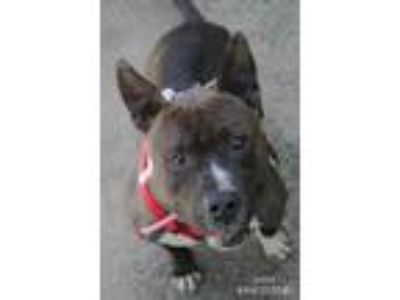 Adopt Luna a Brown/Chocolate American Pit Bull Terrier / Mixed dog in Wilkes