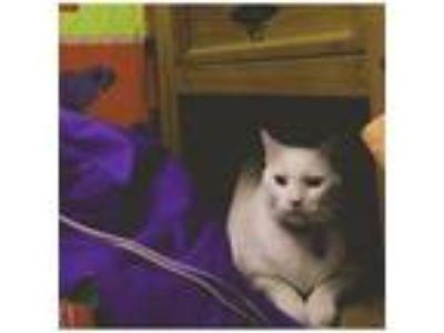 Adopt Venture a White Turkish Van cat in Hawthorne, NJ (25253920)