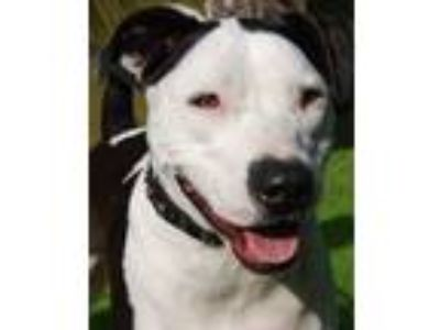 Adopt Daisy a American Staffordshire Terrier, Staffordshire Bull Terrier