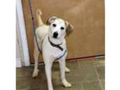 Adopt LUNA a German Shepherd Dog, Yellow Labrador Retriever