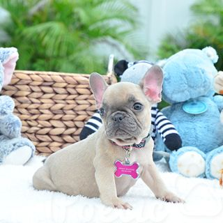 French Bulldog PUPPY FOR SALE ADN-78493 - Blue Fawn Female Piper