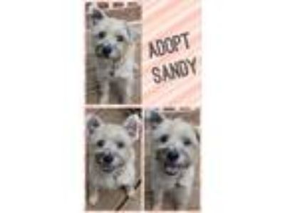 Adopt Sandy a Tan/Yellow/Fawn Cairn Terrier / Standard Schnauzer / Mixed dog in