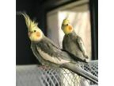 Adopt Luke and Perry a Cockatiel