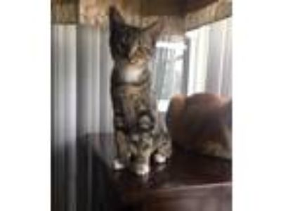 Adopt HAIRSPRAY KITTENS a Domestic Shorthair / Mixed (short coat) cat in Fort