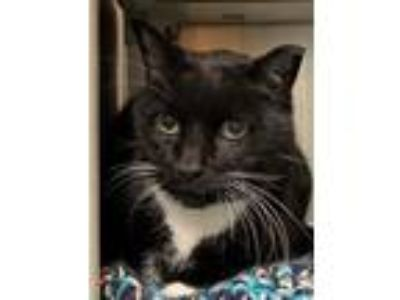 Adopt Hunter a Black & White or Tuxedo Domestic Shorthair / Mixed cat in