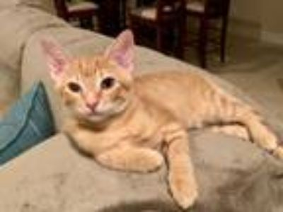 Kittens - For Sale Classifieds in Lake Mary, South Florida - Claz org