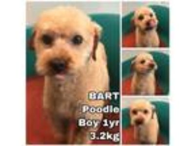 Adopt Bart from Korea a Poodle (Miniature) / Mixed dog in Seattle, WA (25945956)