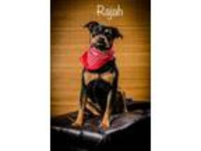 Adopt Rajah a Black Rottweiler / Mixed dog in North Myrtle Beach, SC (25577844)