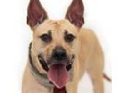 Adopt FLASH a Pit Bull Terrier