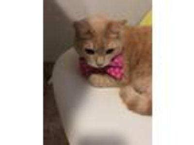 Adopt Rocky a Tan or Fawn (Mostly) American Shorthair / Mixed cat in Jamaica