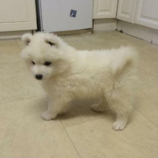 Samoyed PUPPY FOR SALE ADN-107789 - Purebred Samoyed Puppies available now