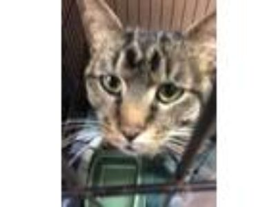 Adopt Cormac a Gray or Blue Domestic Shorthair / Domestic Shorthair / Mixed cat