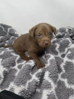 Labrador Retriever PUPPY FOR SALE ADN-113591 - Silver Charcoal and Chocolate Lab puppies