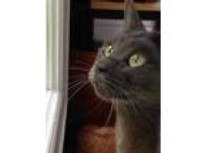 Adopt Scout a Gray or Blue Domestic Shorthair / Mixed (short coat) cat in