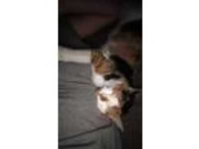 Adopt Aurora a Calico or Dilute Calico Calico / Mixed cat in Waite Park