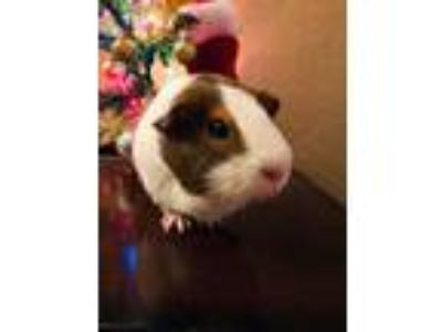 Adopt Newton a Brown or Chocolate Guinea Pig / Mixed small animal in Edmond