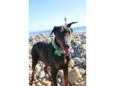 Adopt Holland a Black - with Tan, Yellow or Fawn Doberman Pinscher / Mixed dog