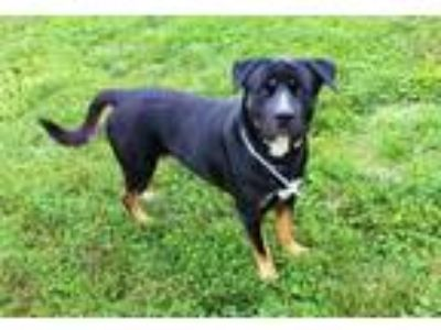 Adopt KADEN a Black - with Tan, Yellow or Fawn Rottweiler / Mixed dog in