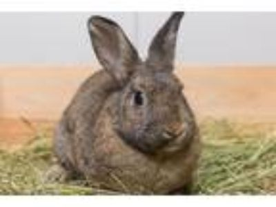 Adopt Waskil a Other/Unknown / Mixed (short coat) rabbit in Pflugerville
