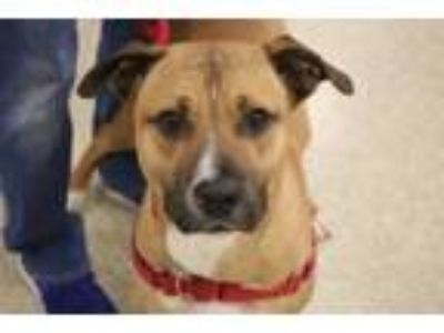 Adopt Rowdy a Black Labrador Retriever / Black Mouth Cur / Mixed dog in