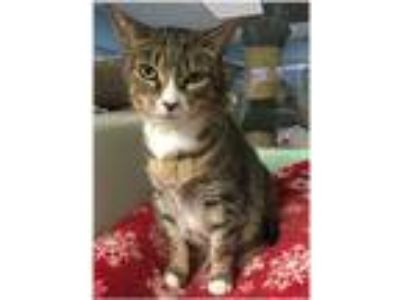 Adopt Wintergreen a Brown Tabby Domestic Shorthair (short coat) cat in Milford