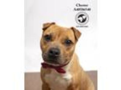 Adopt Chester (In a Foster Home) a Terrier