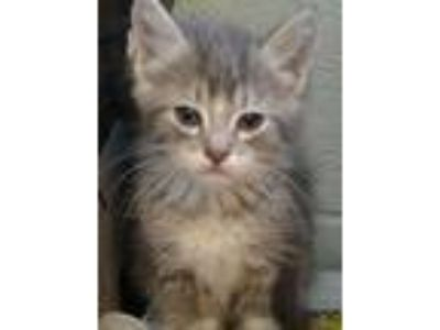 Adopt Hiccup a Gray, Blue or Silver Tabby Domestic Mediumhair cat in Delta