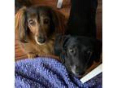 Adopt UTAH DRUT - Missy and Lily (Bonded pair) a Dachshund