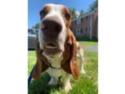 Adopt Pluto a White - with Tan, Yellow or Fawn Basset Hound / Mixed dog in